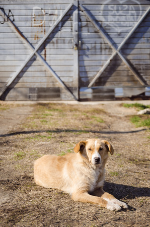 Yellow stray dog on the ground in front of garage doors Stock Photo