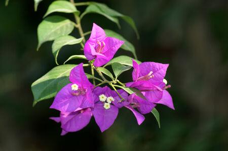 bougainvillea flowers: Flowers bougainvillea