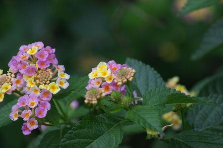 lantana camara: Close up of Lantana camara on plant.