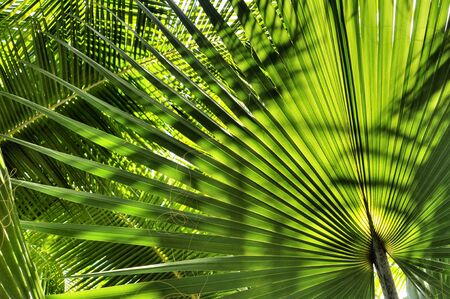 nuances: Palm tree leaves in beautiful green shades