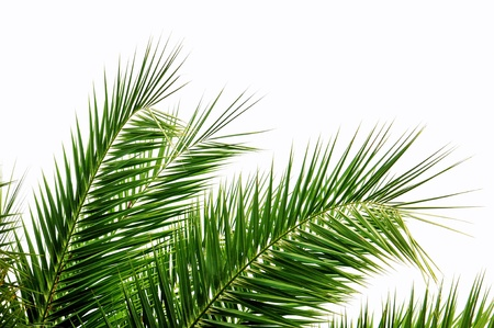tropical rainforest: Green palm tree leaves isolated on white background