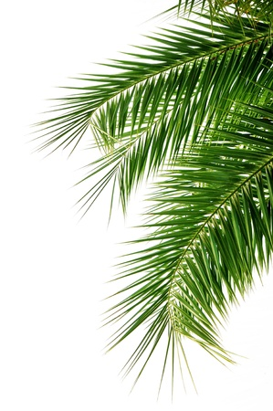 nuances: Palm tree leaves on white background