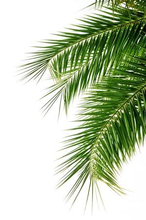 Palmboom bladeren op witte achtergrond