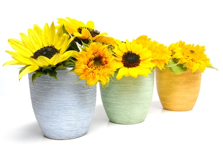 botanics: Various sunflowers in multicolored flowerpots over white background Stock Photo