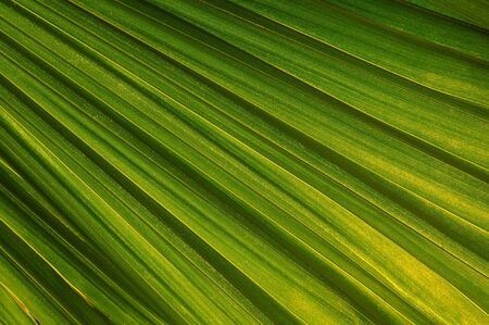 nuances: Close up of a palm leaf with beautiful green shades