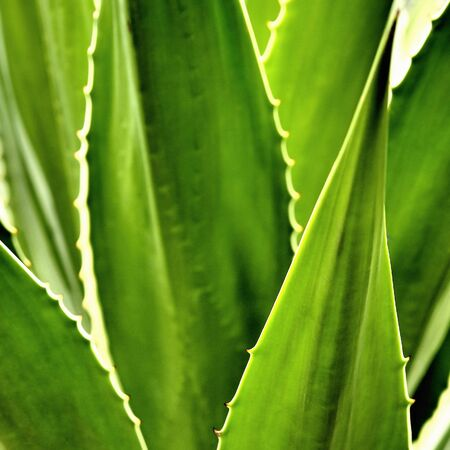 Agave cactus leaves Stock Photo - 11425514