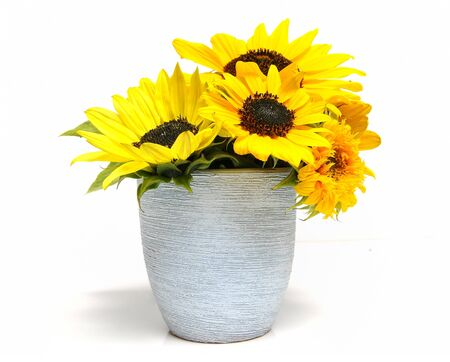 Various sunflowers in a flowerpot over white background photo