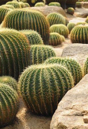 bionomics: Various ball-shaped cactuses