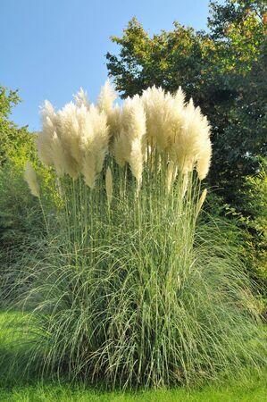 pampas: Pampas Grass in a garden  Stock Photo