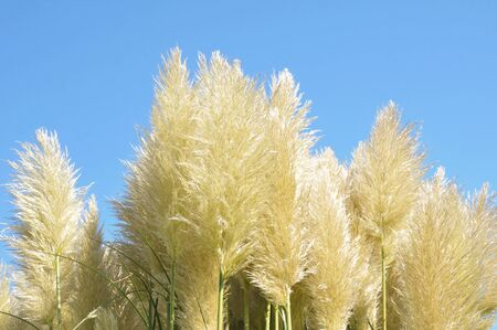 Waving pampas grass in front of blue sky  photo