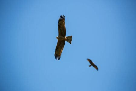 Flying buzzard on a day with clear blue sky Stock Photo