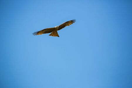 Flying buzzard on a day with clear blue sky Stock Photo - 80168345