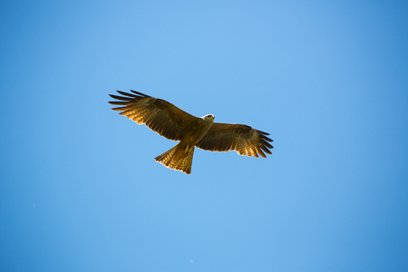 Flying buzzard on a day with clear blue sky Stock Photo - 80168346