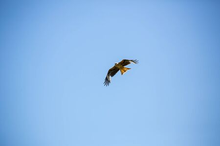 Flying buzzard on a day with clear blue sky Stock Photo - 80168347