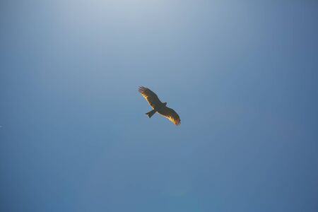 Flying buzzard on a clear blue sky Stock Photo - 80168348