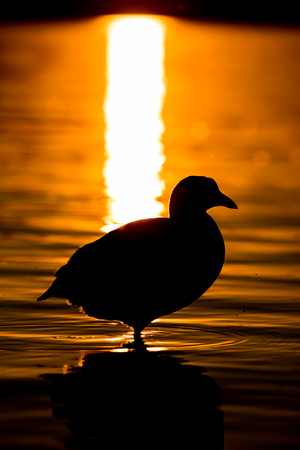 Silhouette coot in sunset