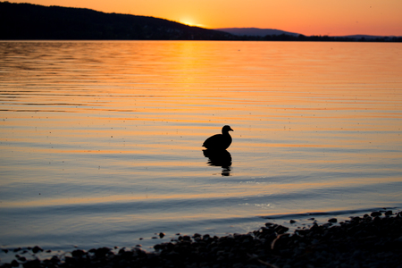 Silhouette coot resting in a sunset