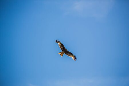 Buzzard against clear blue sky flying Stock Photo