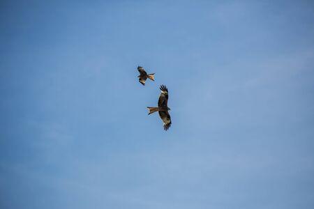 ノスリに対して旋回澄んだ青い空を飛んで