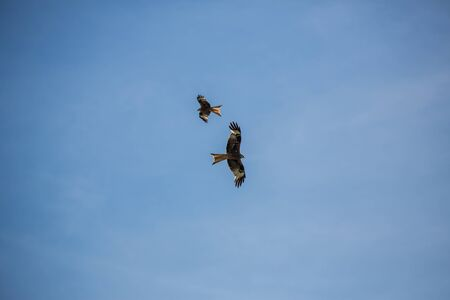 Two Buzzards circling against clear blue sky flying
