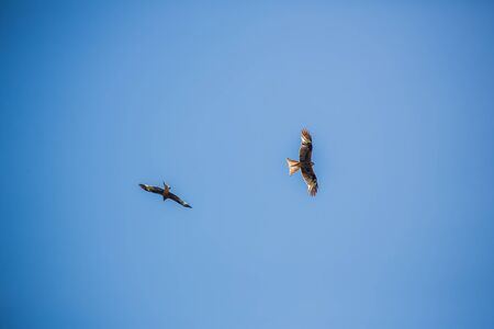 Two buzzard circling against clear blue sky flying Stock Photo - 80252374