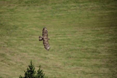 noon: Buzzard flying over green farmer field