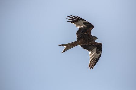 Buzzard flying against the skyline in switzerland