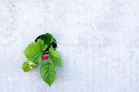 Red berry with green leaves on a concrete background. Photo of ripe raspberries on a branch.