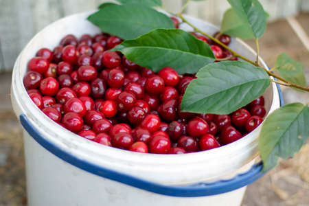 Fresh red ripe cherry in a bucket. Ripe red cherries in a white bucket with a branch. Selective focus