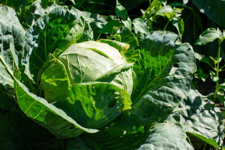 Close up on Fresh cabbage in harvest field. Cabbage are growing in garden. Organic vegetable background in freshness atmosphere farm on mountain. Agriculture concept.