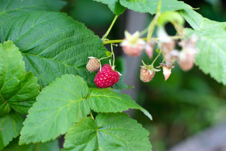Raspberries in the sun. Red raspberries close-up. Red berry with green leaves in the sun. Photo of ripe raspberries on a branch.
