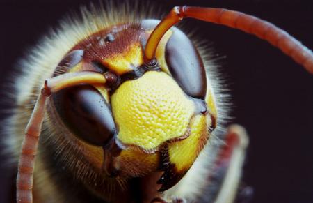 horrifying: Extreme hornet macro on black background