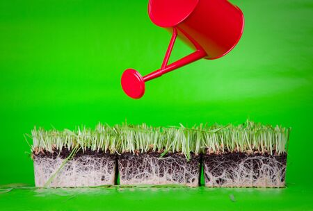 watered: Cuted green grass with rootlets in mould on green background watered by red watering can