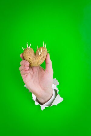 Hand through a hole in green paper holding a sprouting heart shaped potato. photo