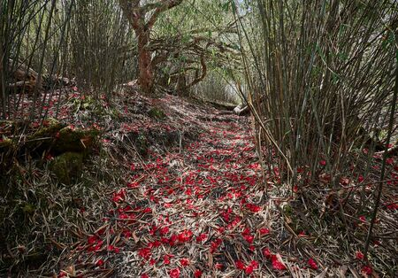 The path in the brush bamboo forest, sealed with red petals of rhododendrons. Nepal, near the Tholobuggin Pass, along the way to the North Base Camp of Annapurna.