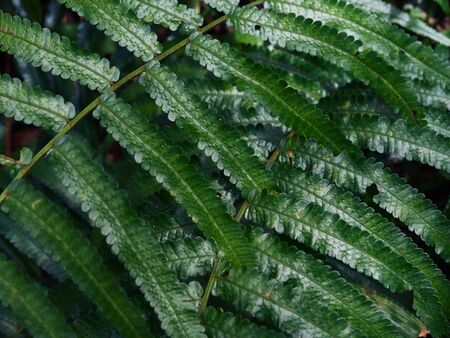 Fern green leafs. Beautyful ferns leaves green foliage natural floral fern background. Rainforest botanical garden Banque d'images