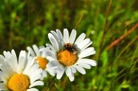 Summer day in the field of daisies bee collects pollen from a flower photo
