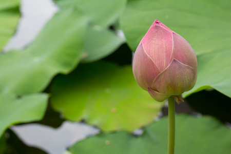 anklet: Pink lotus in a pond Stock Photo