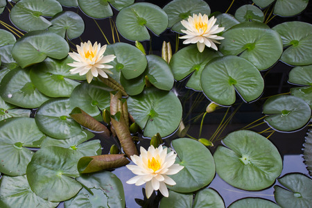anklet: White lotus in a pond