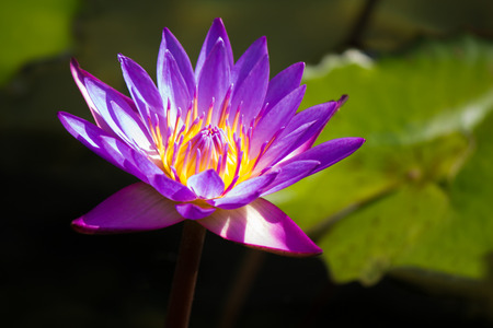 anklet: Purple lotus in a pond
