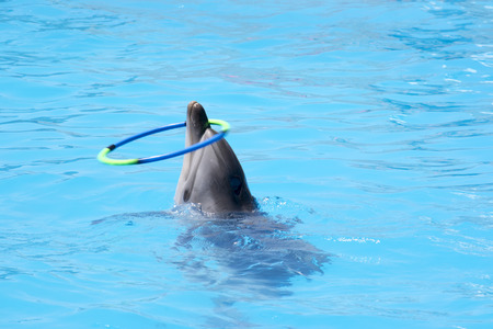 trained dolphin twists the hoop Stock Photo