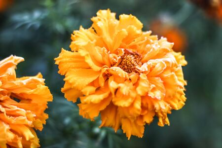 Frost on marigold flower petals Stock Photo