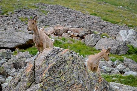 mountain goats: Mountain goats in high tatras