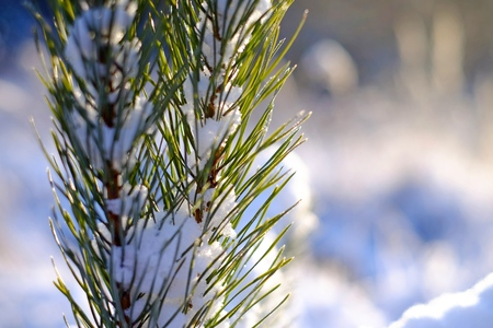Conifer branches in the snow