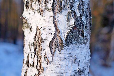 bark peeling from tree: Birch bark texture