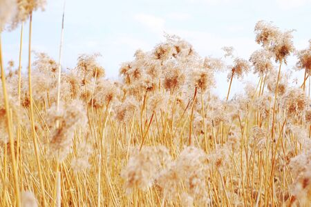 canne: dried reeds dry, dried, reeds roof background nature reed, sky