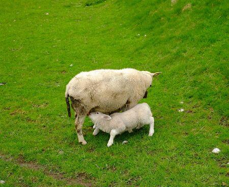 sucks: Lamb sucks milk mothers, mother lamb grass agriculture Stock Photo