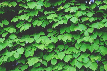 hedge plant: Background hedges wall, hedge, plant hipster texture bush Stock Photo