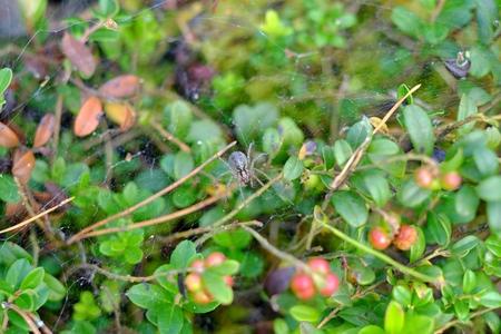 cobweb: Spider on web in forest cobweb, art, forest nature spiderweb