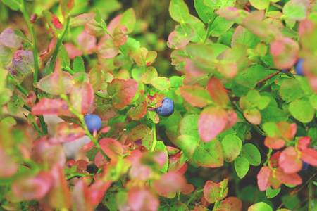 bilberry: The branches of bilberry forest, blueberry bush bilberry